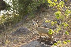Dziki klipspringer, Kruger park narodowy, Południowa Afryka (Oreotragus oreotragus) Zdjęcia Royalty Free