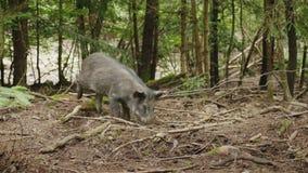 Dziki knur kopie ziemię z swój dyszą Patrzeć dla jedzenia w lesie zbiory