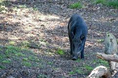 Dziki knur patrzeje dla jedzenia Zdjęcie Stock
