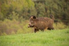Dziki knur, sus scrofa, chodząca synklina wiosny łąka obrazy royalty free