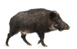 Dziki knur, także dzika świnia, Sus scrofa Zdjęcie Stock
