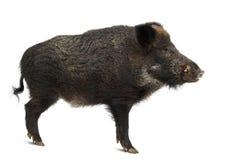 Dziki knur, także dzika świnia, Sus scrofa Zdjęcia Royalty Free
