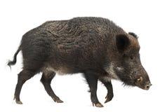 Dziki knur, także dzika świnia, Sus scrofa Obrazy Stock