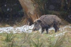 Dziki knur w śnieżnej prysznic Fotografia Stock