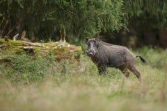 Dziki knur w antycznym lesie Obrazy Stock