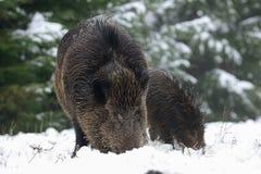 Dziki knur w zima lesie Fotografia Stock