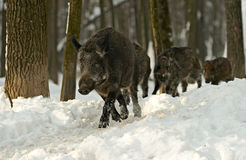 Dziki knur w zimie Zdjęcie Stock