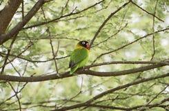 Dziki Kołnierzasty Lovebird Agapornis personatus Umieszczał w drzewie Zdjęcia Royalty Free