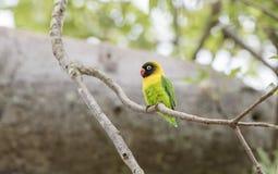 Dziki Kołnierzasty Lovebirds Agapornis personatus Umieszczał w drzewie Obraz Royalty Free