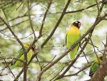 Dziki Kołnierzasty Lovebirds Agapornis personatus Umieszczał w drzewie Obraz Stock