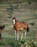 dziki koń Obrazy Royalty Free