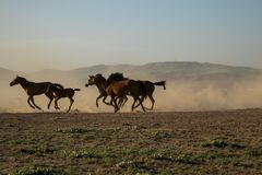 Dziki koń gromadzi się bieg w płosze, kayseri, indyk zdjęcia royalty free
