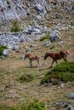 Dziki koń i źrebię w parku narodowym Fuentes Carrionas Palencia zdjęcia stock