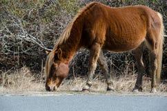 Dziki koń je trawy wzdłuż strony droga - Assateague wyspy obywatela Seashore obraz stock