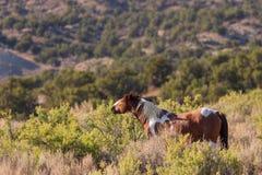 Dziki koń w Kolorado wysokości pustyni obrazy royalty free