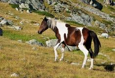 dziki koń Obrazy Stock