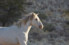 dziki koń Obraz Royalty Free