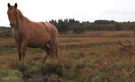 dziki koń Fotografia Stock