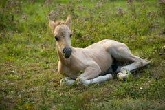 dziki koń Obraz Stock