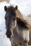 dziki koński portret Obrazy Stock
