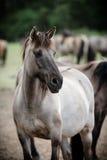 Dziki koń w Duelmen, Niemcy fotografia royalty free