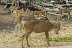 Dziki kochany w zoo, Tajlandia zdjęcia stock