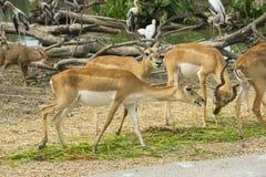 Dziki kochany w zoo, Tajlandia zdjęcie stock