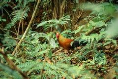 Dziki kogut w tropikalnym lesie deszczowym obraz stock