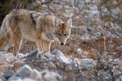 Dziki kojot Fotografia Stock
