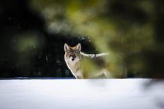 Dziki kojot Zdjęcie Stock
