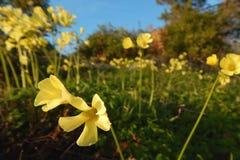 Dziki kolor żółty kwitnie chodzenie z nabrzeżnym wiatrem obraz stock