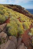 Dziki kolor żółty kwitnie na skałach, capraia wyspa Obraz Royalty Free