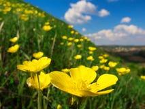 Dziki kolor żółty kwitnie na trawiastym skłonie zdjęcie stock
