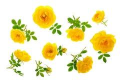 Dziki kolor żółty róży kwitnienia kwiat odizolowywający na białym tle Odgórny widok Mieszkanie nieatutowy wzór Obraz Royalty Free