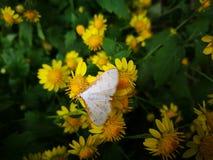 Dziki komarnicy powstrzymywanie na żółtym kwiacie zdjęcia stock