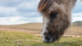Dziki konik na Dartmoor Obraz Royalty Free