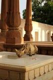 Dziki kot Zdjęcie Stock