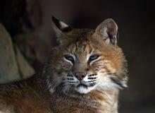 dziki kot Zdjęcie Royalty Free