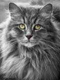 dziki kot Obrazy Royalty Free
