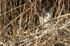 dziki kot camouflaged wśród płoch tropi dla małych ptaków Zdjęcie Royalty Free