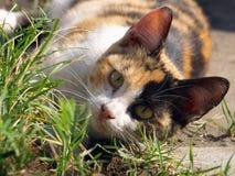 Dziki kot na grasującym Obrazy Stock