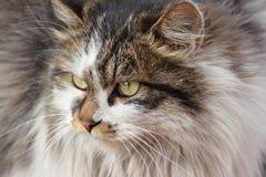 Dziki kot, twarz Zdjęcie Royalty Free