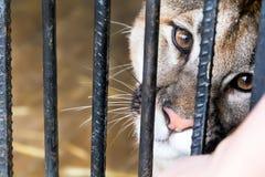 Dziki kot w klatka zoo Obraz Royalty Free