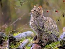 Dziki kot w krzaku Obraz Stock