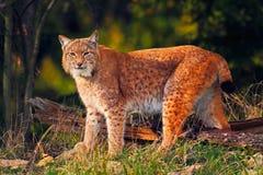 Dziki kot w lasowym rysiu w natura lasu siedlisku Eurazjatycki ryś w lasu, brzozy i sosny rysia lasowej pozyci na th, zdjęcie stock
