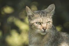 Dziki kota portret patrzeje daleko od Zdjęcia Stock