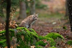 Dziki kota ryś w natura lasu siedlisku Eurazjatycki ryś w lasu, brzozy i sosny rysia lasowym lying on the beach na zielonym mech  Obrazy Stock