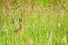 dziki królik Zdjęcia Stock