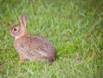 dziki królik Zdjęcie Royalty Free