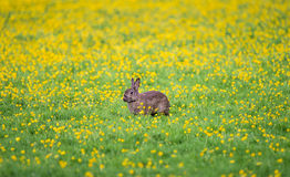 Dziki królik w Holandia Zdjęcia Royalty Free
